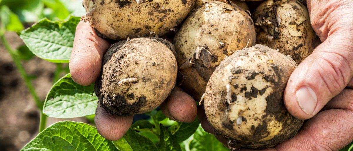 Kartoffelhände BioBördeland GbR